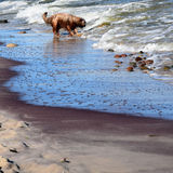 Shaggy dog on the beach over Baltic Sea Royalty Free Stock Image