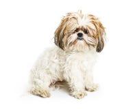 Shaggy Dog com necessidade do noivo fotografia de stock royalty free