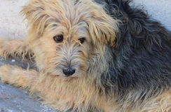 Shaggy Dog Royalty Free Stock Photos