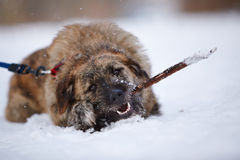 The shaggy dog gnaws a stick on snow. Stock Image