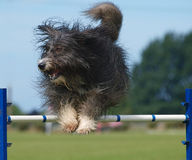 Shaggy Dog Jumping Royalty Free Stock Photo