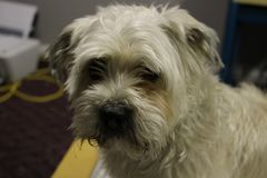 Yorkie shih tzu dog portrait photograph. A shaggy dog that is looking at camera stock images