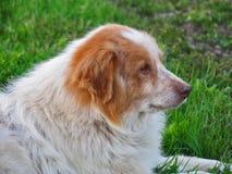 Shaggy dog lying on green grass Royalty Free Stock Photo