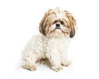 Shaggy Dog in Need of Groom royalty free stock photography