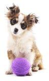 Shaggy dog with purple balls. Stock Image