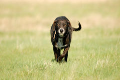 Shaggy dog roams the field Royalty Free Stock Photo