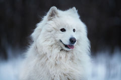 Shaggy dog sitting on the snow Royalty Free Stock Photography