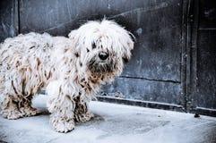 Shaggy dog. Shaggy white dog on the street Royalty Free Stock Photo