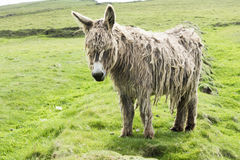 Shaggy Donkey Stock Photo