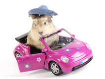 Shaggy Driver. Guinea pig in the funny pink car. Not isolated image royalty free stock photos