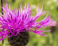 Centaurea montana Stock Images