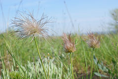 Shaggy flowers on green meadow against blue sky in Spring day stock photography