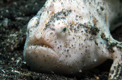 Shaggy Frogfish Royalty Free Stock Photography