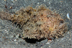 Shaggy Frogfish Royalty Free Stock Image