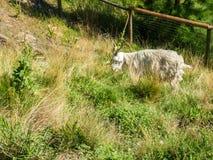 A Shaggy Goat Grazing Stock Photos