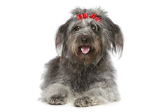 Shaggy gray mongrel with red ribbons Royalty Free Stock Image