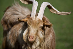 Shaggy haired goat. Tan colored shaggy coated goat with long horns Stock Image