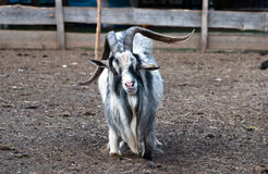 Shaggy haired goat on the farm Royalty Free Stock Photography