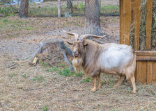 Shaggy horned mountain sheep (ovis ammon) near the feeders with hay Royalty Free Stock Photography