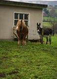 Shaggy horse and gray donkey on  green meadow near  house Stock Image