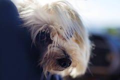 Shaggy Hund stockfoto