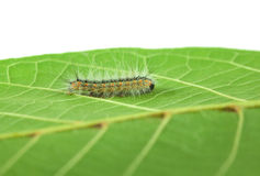 Shaggy Hyphantria cunea larva Stock Photo