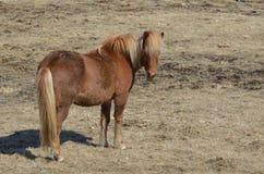 Shaggy Icelandic Horse Fotografia Stock
