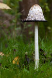 Shaggy ink cap. Lawyer's wig, or shaggy mane (Coprinus comatus Royalty Free Stock Images