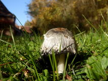 Shaggy Ink Cap Royalty Free Stock Images