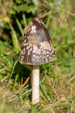 Shaggy ink cap (Coprinus comatus) Royalty Free Stock Photo