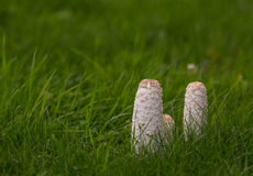 Shaggy Ink Cap with green grass Stock Photography