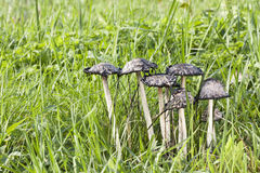 Shaggy ink cap Royalty Free Stock Photography