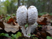The Shaggy Ink Cap- Lawyers Wig. Detail of mushrooms from UK forests stock image