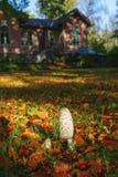 Shaggy ink cap mushroom. In a garden in autumn Stock Photos