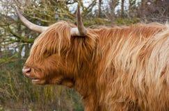 Shaggy Kuh Stockbild