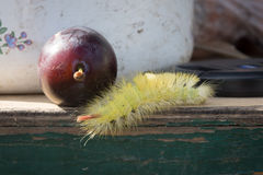 Shaggy larva and plum. Royalty Free Stock Photography