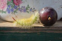Shaggy larva and plum. Stock Photo