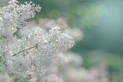 Shaggy lilac. lilac flowers on a background of green leaves in the rays of sunlight. toned photo in soft colors. Shaggy lilac Lilac GOLD AMUR lilac flowers on a stock images