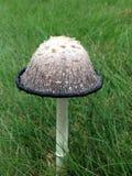 Shaggy Mane Mushroom Royalty Free Stock Images