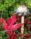 Shaggy Mane-paddestoelpaddestoel en rode Esdoornbladeren Royalty-vrije Stock Fotografie