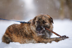 The shaggy mongrel gnaws a stick on snow. Stock Image
