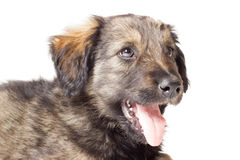 Shaggy mongrel Royalty Free Stock Photography
