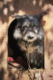 Shaggy old dog chained in a muddy cage looking sad Royalty Free Stock Images