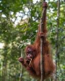 Shaggy orangutan hanging on two trees and eats a banana (Bohorok Royalty Free Stock Photo