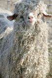 shaggy owce Obrazy Royalty Free