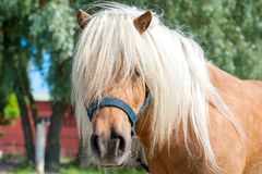 Shaggy palomino shetland pony head. Closeup summetime outdoors i Stock Images