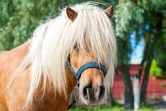 Shaggy palomino shetland pony head. Closeup summetime outdoors i Royalty Free Stock Photos
