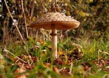 Shaggy parasol mushroom Stock Photo