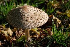 Shaggy parasol mushroom cap Stock Image