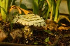 Shaggy Parasol Mushroom & x28; Chlorophyllum rhacodes& x29; royaltyfri fotografi